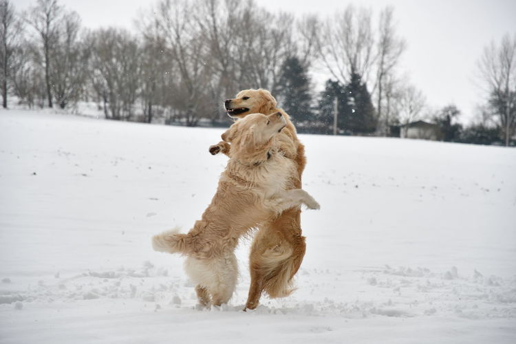 Golden Golden Retriever Animal Animal Themes Canine Cold Temperature Day Dog Domestic Domestic Animals Field Land Mammal Nature No People One Animal Outdoors Pets Playing Dogs Retriever Running Snow Vertebrate Winter The Photojournalist - 2018 EyeEm Awards