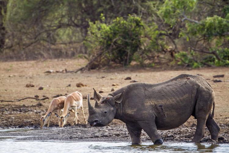 Rhinoceros and deer at lakeshore