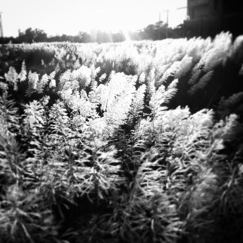 autumn saga ! Js Autumn Flower Season  Kaashful Catkins Blackandwhit Bnw B &wIPhone Insta Instapic Pickgram Chttagong Chottogram Instagram
