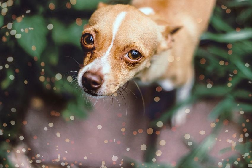🐭 Dog Pets One Animal Animal Puppy Cute Animal Themes Domestic Animals Day Young Animal No People Ear Protruding Mammal Beagle Outdoors Close-up Chichuahua Paws