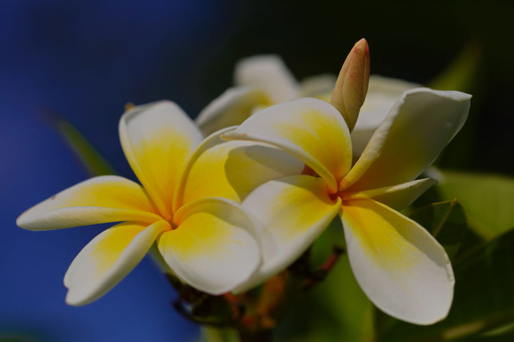 Close-Up Of Frangipani On White Flower In Park