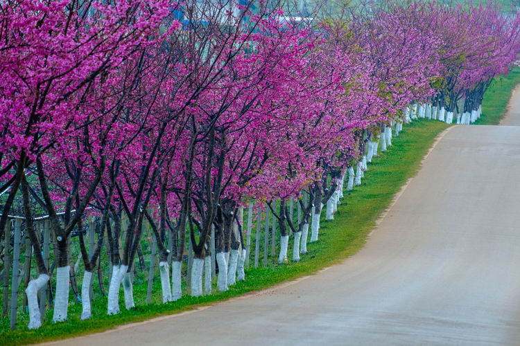 Plant Tree Flower Road Flowering Plant Blossom Beauty In Nature Growth Nature Pink Color Springtime Freshness Fragility Transportation Treelined Park The Way Forward Footpath Direction In A Row No People Diminishing Perspective Outdoors Cherry Blossom Cherry Tree
