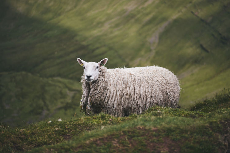 Sheep on a mountain in wales
