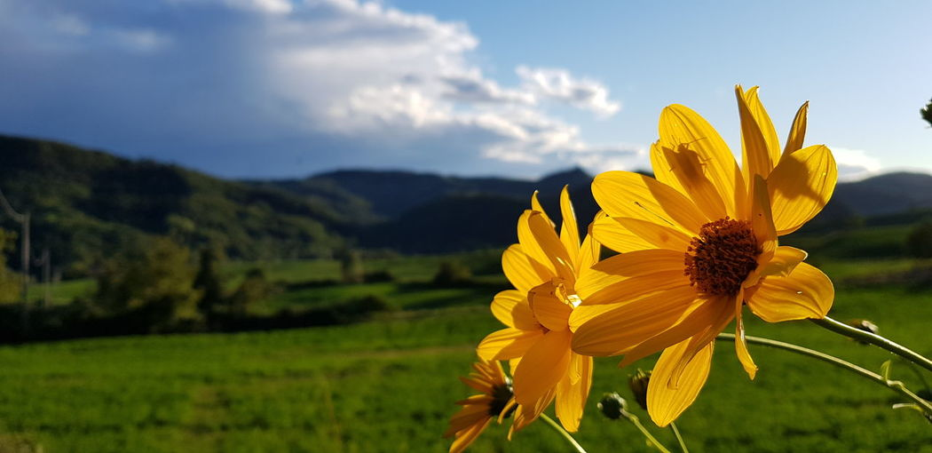 Close-up of yellow flowering plant on field against sky