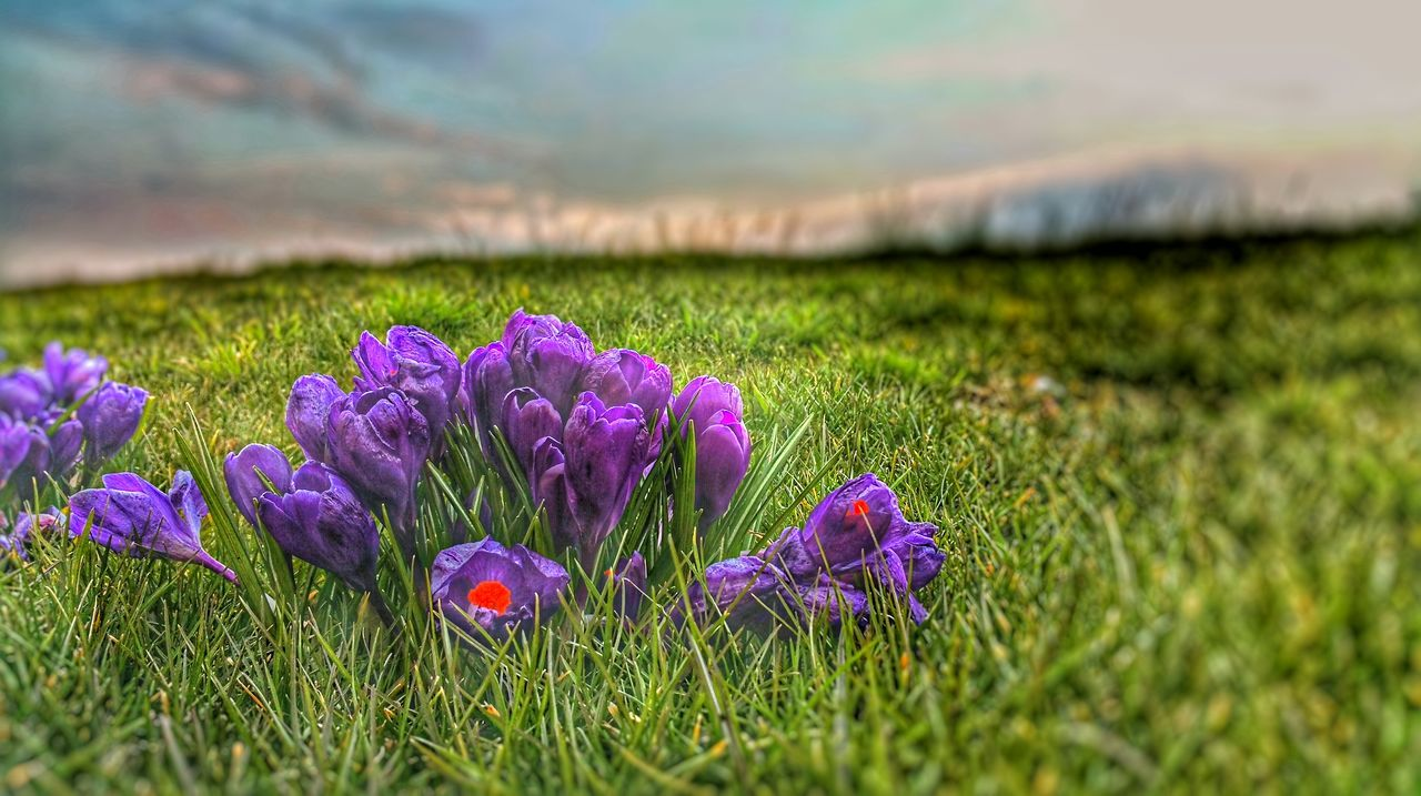 flower, nature, growth, beauty in nature, field, grass, purple, tranquility, plant, fragility, landscape, petal, freshness, outdoors, no people, scenics, flower head, green color, crocus, day, blooming, rural scene, close-up, sky