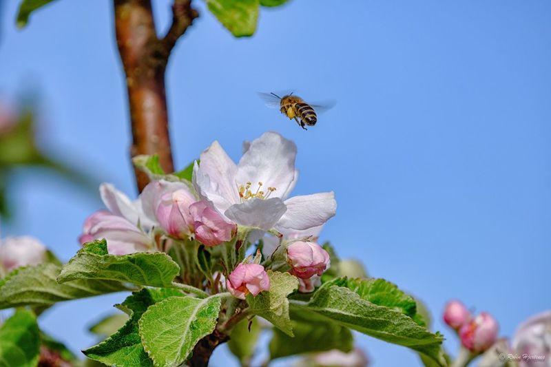 Bee aproching