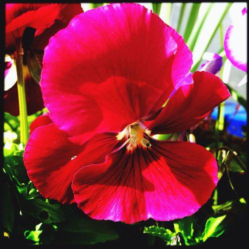 iPhone + hipstamatic + Eva Filter. 21 mars 2014. J'en conviens , ces couleurs sont improbables :). Pink Flowers IPhone