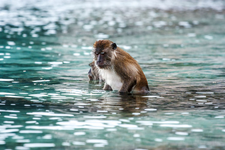 Monkey swimming in lake