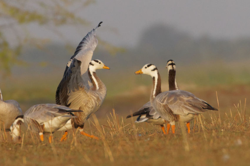 Bar headed Geese Bird Photography Birds_collection Birds Of EyeEm  Birds Bird Scape Birding Birdwatching Birds Wildlife Birds Of Paradise Birdswatch Birds Lover Male Birds Birds Eye View No People Day