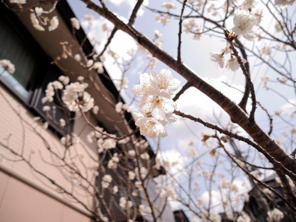 Relaxing Hello World Spring Flowers Cherry Blossom Cherryblossom Hi! Japanese  Japanese Culture Sakura Sakura2016