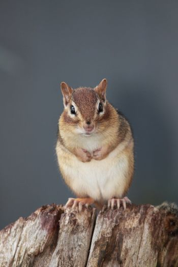 Portrait of squirrel on wood