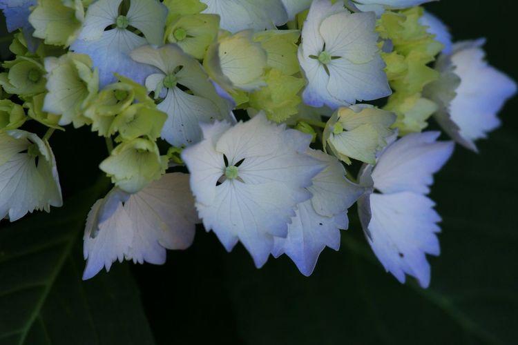 満開には少し早かったけど、十分に楽しめたよ♪(*^^)/ あじさい寺 Flowers Flower EyeEm Best Shots - Flowers EyeEm Flower Hydrangeas Hydrangea 紫陽花 あじさい Flower Collection
