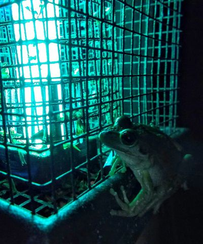 Frog getting a feed from a bug catcher
