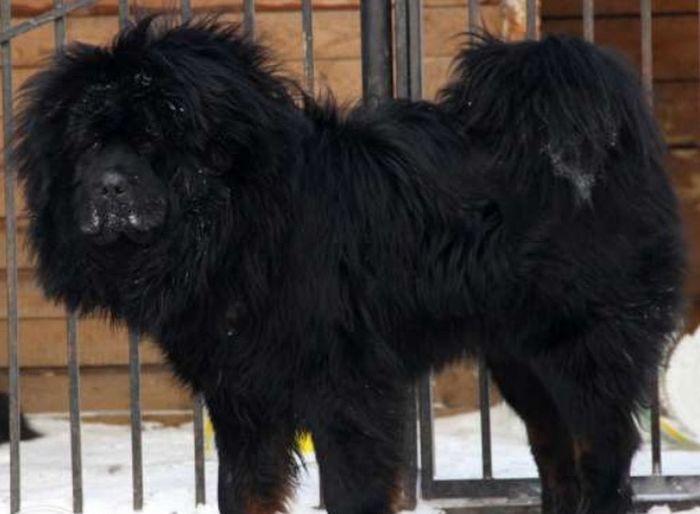 Tibetan  Tibetan Mastiff Hello World Dogs