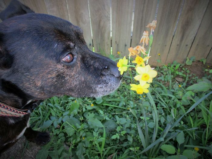 Stop And Smell The Flowers Yellow Flower Animal Themes Brindle Brindle Dog Close-up Day Dog Domestic Animals Flower Flower Head Geriatric Dog Jonquils Mammal Nature No People Old Dog One Animal Outdoors Pets Rescue Dog Rescuedog Staffie Staffy Staffy Cross Pet Portraits 100 Shades Of Yellow