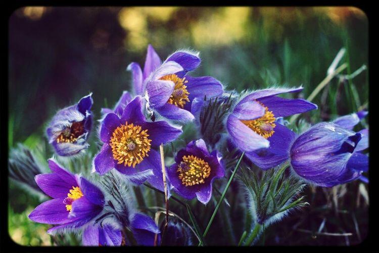 Pulsatilla Vulgaris. Pantone Colors By GIZMON EyeEm Nature Lover Pulsatilla Vulgaris Pasqueflower