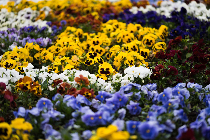 colorful flowers | daylight photography Beauty In Nature Close-up Day Flower Flower Head Flowering Plant Fragility Freshness Growth Large Group Of Objects Nature No People Outdoors Park Plant Purple Selective Focus Vulnerability  White Yellow