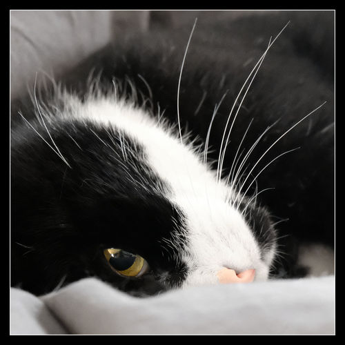 A Cat Called TAXI Animal Themes Black And White Cat Cat Cat Lying Down Cat's Eye Cats Of EyeEm Close-up Day Domestic Animals Domestic Cat Feline Indoors  Mammal No People One Animal Pets Quadratic Format Snout Whisker Pet Photography