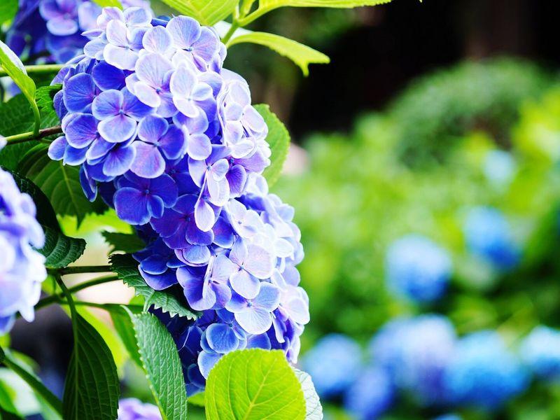 今年も白山の紫陽花祭りに来ました 紫陽花 あじさい