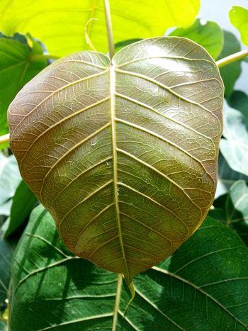 Bodhi Leaf Leaf Leaf 🍂 Leaf Vein Leaves🌿 Leafphotography Leafs Photography Leafs Leafs 🍃 Leafs. Leafy Greens