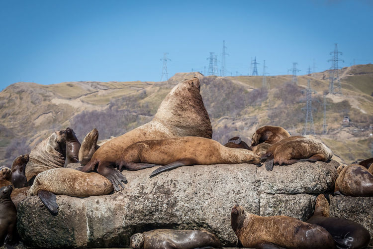Seals on rock against mountain