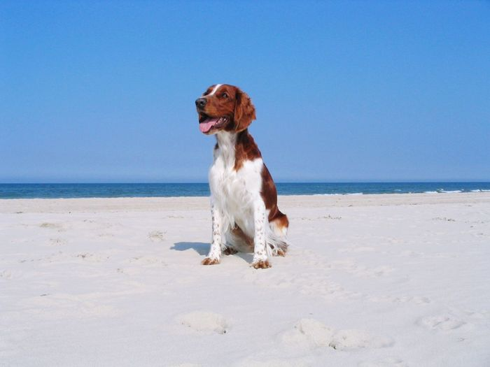 EyeEm Selects Tversted Skagen Denmark Dog Welsch Springer Spaniel Welsh Springer Spaniel Beach Horizon Over Water Sea Nature Sand Outdoors Clear Sky Water Pets One Animal Sitting Beauty In Nature Sky