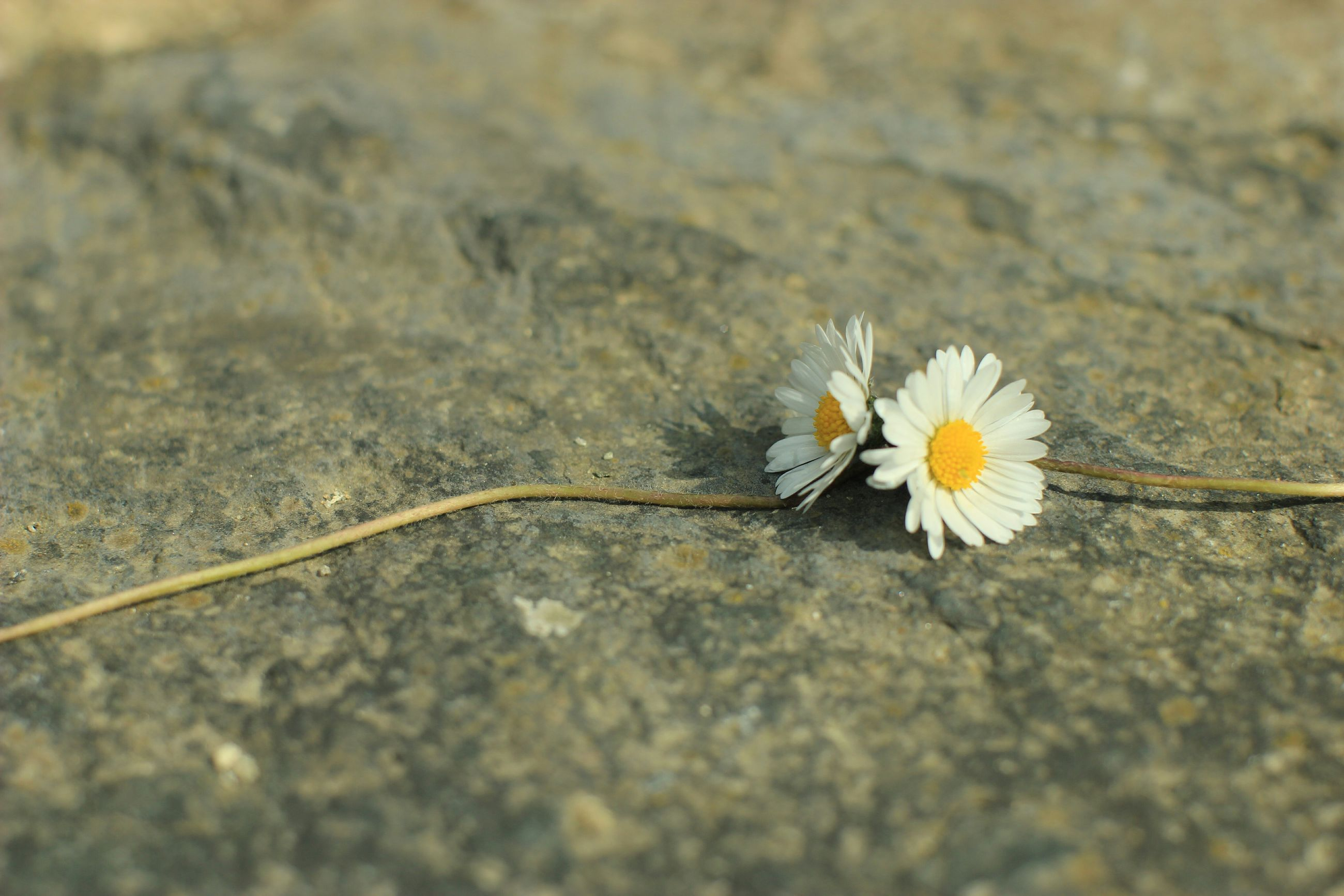 flower, fragility, petal, flower head, white color, freshness, nature, single flower, daisy, close-up, beauty in nature, pollen, insect, high angle view, growth, selective focus, plant, blooming, focus on foreground, outdoors