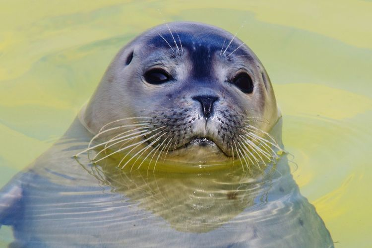 Cute dude. Favorite Animal Naturelovers Nature Photography Wanderlust Rescue Seal Animal Themes Animal One Animal Mammal Animal Wildlife Animals In The Wild Water Animal Head  Portrait Close-up Nature Seal - Animal