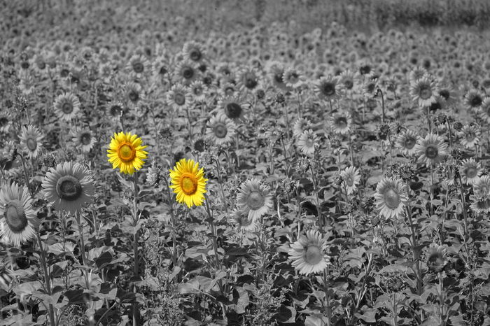 Beauty In Nature Black And White Blooming Close-up Color Key Colorkey Day Field Flower Flower Head Fragility Freshness Growth Nature No People Outdoors Petal Plant Sunfower Uncultivated Yellow