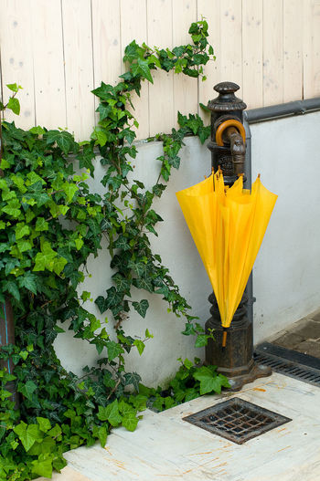 Umbrella Ivy Ivy Covered Ivy Leaves Plant Yellow Growth No People Leaf Nature Plant Part Day Wall - Building Feature Architecture Green Color Outdoors Flower Built Structure Flowering Plant Beauty In Nature Potted Plant Freshness Close-up Metal