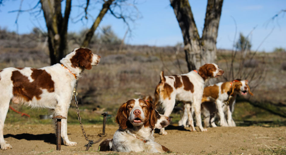 Brittany Spaniel dog Brittany Spaniel Animal Themes Canine Day Dog Domestic Animals Group Hunting Mammal No People Outdoors Pets Spaniel Togetherness