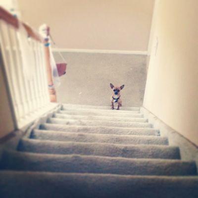 Little guy has to get used to stairs now Newplace Dailyzigga Princesspup