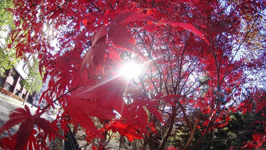 Tree Low Angle View Sunlight Sun Nature Lens Flare Beauty In Nature Sunbeam Growth Leaf Branch No People Outdoors Sky Day Scenics Close-up Japan Sapporo Red Leaves Autumn Fisheye Red Park City Park
