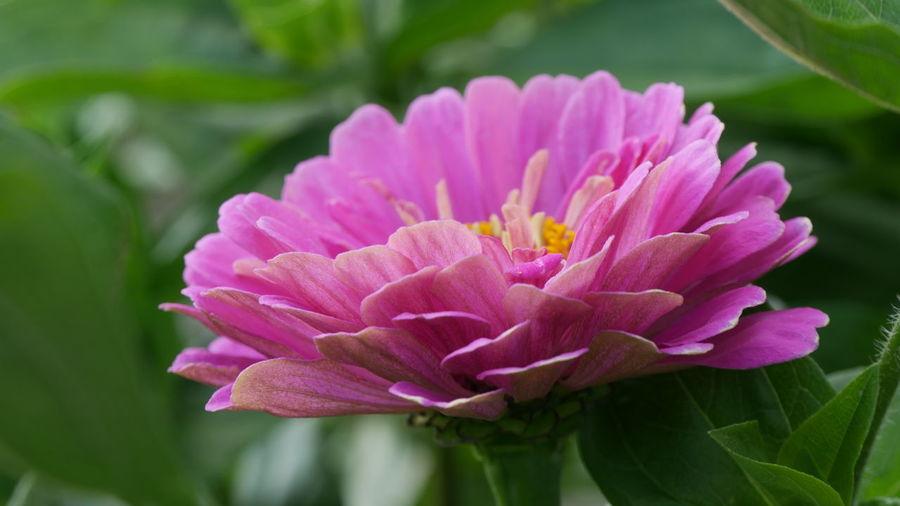 Zinnia  Beauty In Nature Blooming Blooming Flower Close-up Flower Flower Head Flowering Plant Focus On Foreground Fragility Freshness Inflorescence Leaf Nature No People Outdoors Petal Pink Color Pink Flower Pink Zinnia Plant Plant Part Pollen Purple Vulnerability