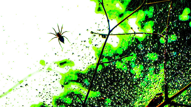 Close up of spider in rain glistened web. Backgrounds Beauty In Nature Close-up Day Focus On Foreground Full Frame Green Green Color Growing Growth Leaf Leaves Nature No People Plant Spider Spider Web And Rain Tranquility Twig A Bird's Eye View