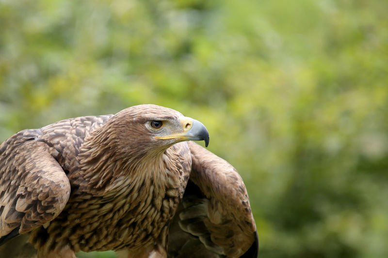 Close-Up Of Alert Golden Eagle Looking Away