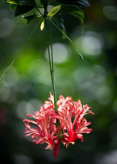 Exotic Kew Kew Gardens Plant Life Beauty In Nature Blooming Bokeh Close-up Exotic Flowers Flower Flower Head Focus On Foreground Fragility Freshness Growth Hanging Flower Nature Petal Rain Forest Flower Rain Forest Plants Red