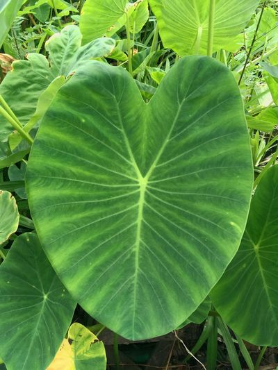 Colocasia Esculenta Natural Beauty In Nature Close-up Cocoyam Dasheen Day Eddoe Elephant Ear Foliage Fragility Freshness Green Color Growth Japanese Taro Leaf Leaves Nature No People Outdoors Plant Taro