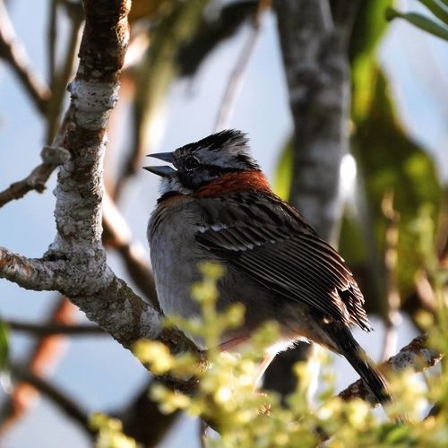 singing cheerful from the morning Summer Exploratorium Bird Photography Summer Exploratorium Colombiamagiasalvaje Sierra Nevada Photographyislife Wildlife Wildlife & Nature Mountaingede Photography Nature Photography Naturephotography Nature Nature_collection Santa Marta, Colombia Discovery EyeEm Selects Bird Perching Tree Branch Animal Themes Close-up Songbird  Sparrow Blackbird