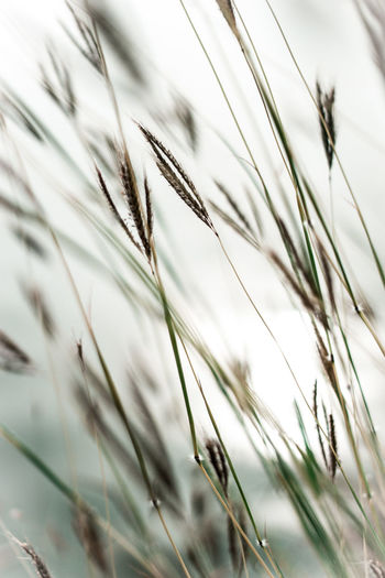 dance with the wind Agriculture Beauty In Nature Close-up Day Ear Of Wheat EyeEmNewHere Focus On Foreground Grass Growth Nature No People Outdoors Plant Reed Timothy Grass Tranquility Wheat