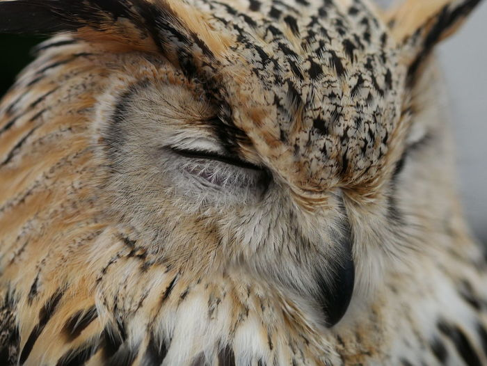 Close-Up Of Eyes Closed Eagle Owl