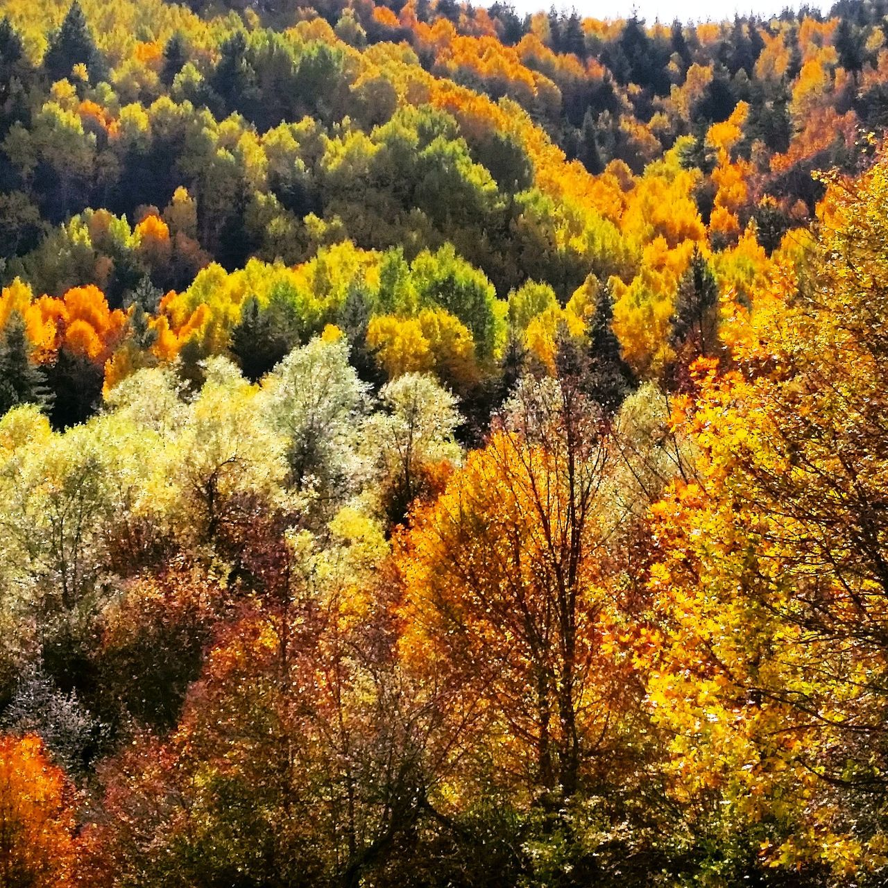 tree, autumn, beauty in nature, nature, tranquility, tranquil scene, scenics, growth, no people, outdoors, day, forest, yellow, sky