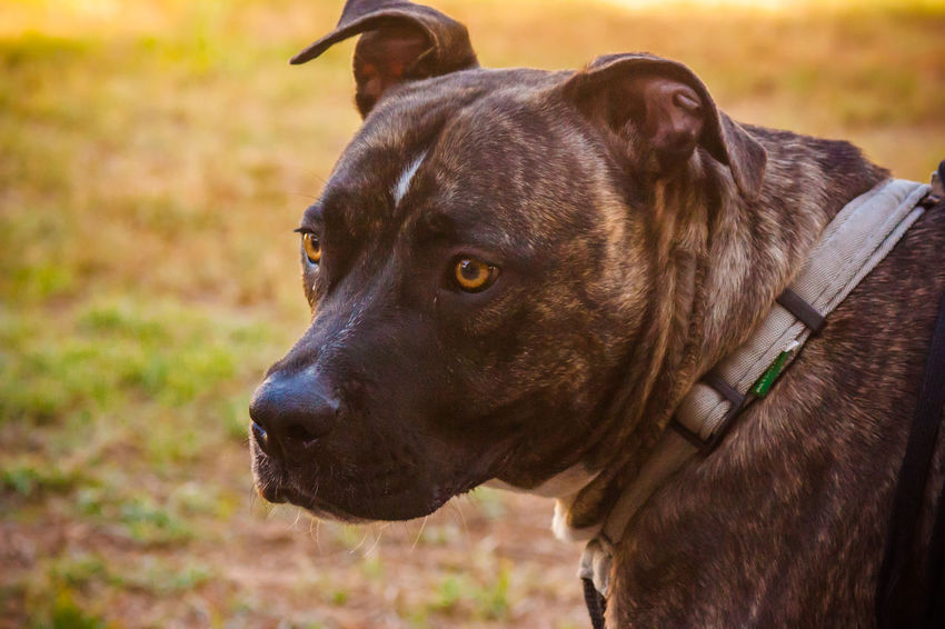 Animal Animal Head  Animal Nose Animal Themes Canine Close-up Dog Dog Love DogLove Doglover Dogs Dogs Of EyeEm Dogs Playing  Dogs Playing Together Dogslife Dogstagram Dog❤ Domestic Animals Loyalty One Animal Outdoor Playtime Outdoors Pitbull Playing Outside Snout