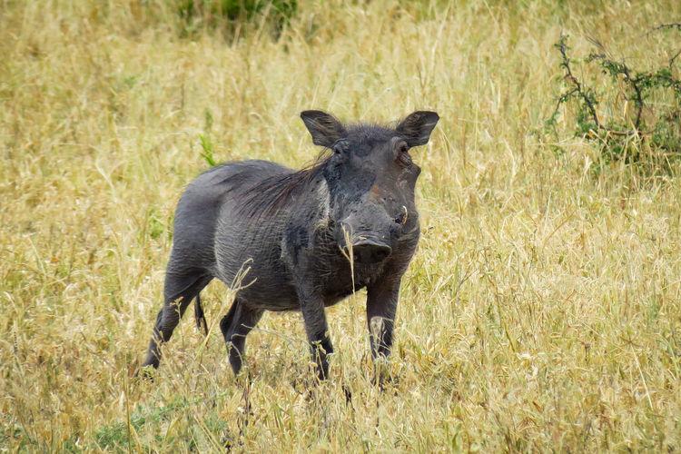 Boar on field