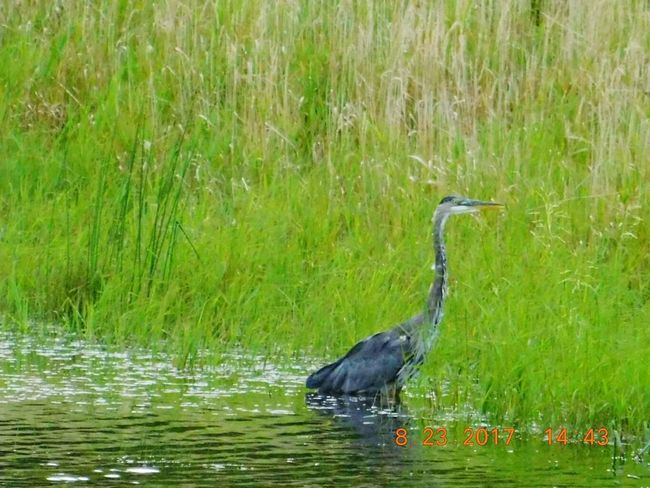 Photo prise le 23/08/2017 en Ontario Heron Bird Heron Fishing One Animal Bird Animals In The Wild Animal Themes Water Outdoors Lake Day Beauty In Nature Ontario, Canada, Mes Photos Sophlav1821 été2017 Beauty In Nature PhotosophLav Photo♡ Nature En 2017 Pet Portraits Lost In The Landscape Connected By Travel EyeEmNewHere