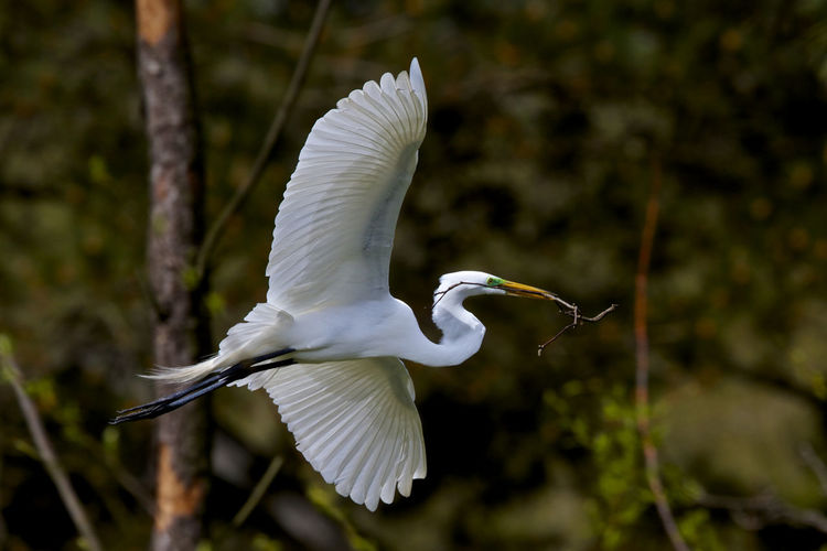 Close-up of great egret flying