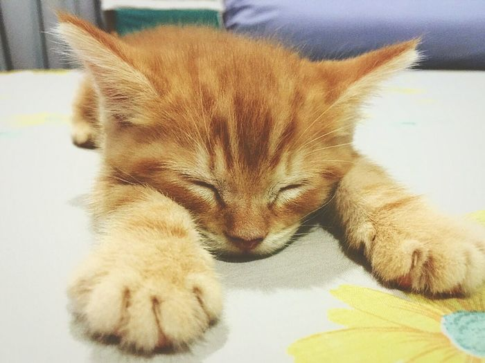 Cato cat Domestic Cat Pets Domestic Animals One Animal Mammal Animal Themes Indoors  Feline No People Lying Down Ginger Cat Close-up Tabby Cat Day
