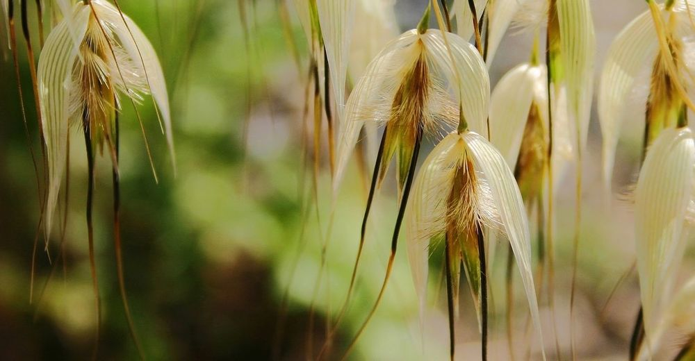 Flowers Grasses Seed Head Close Up Nature