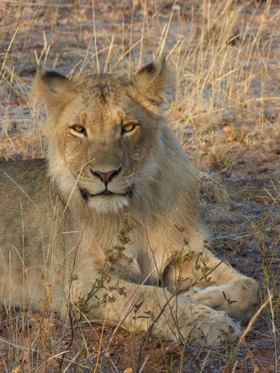 Greater Kruger National Park Kruger Park Lion South Africa Animal Animal Head  Animal Wildlife Animals In The Wild Cat Feline Grass Intense Eyes Krüger National Park  Land Looking At Camera Nature No People Portrait Undomesticated Cat