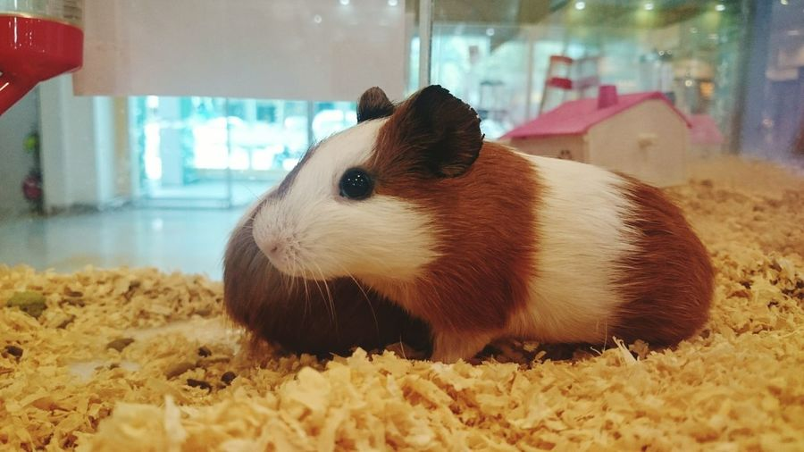 Close-up of guinea pig at home
